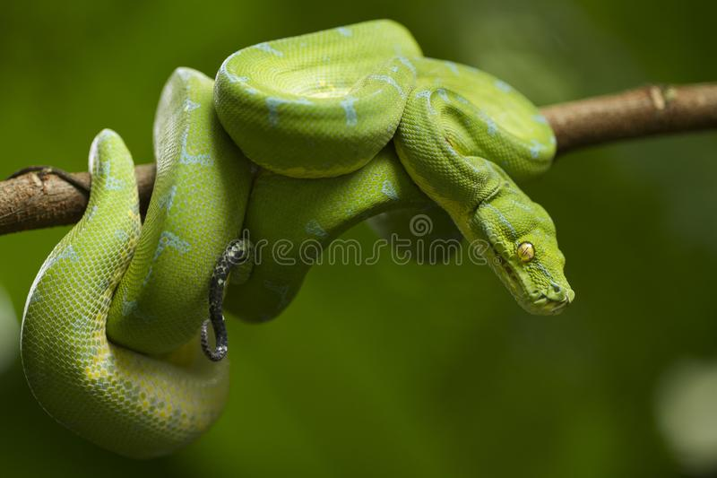 Python vert d'arbre, localité de sorong de viridis de Morelia image libre de droits
