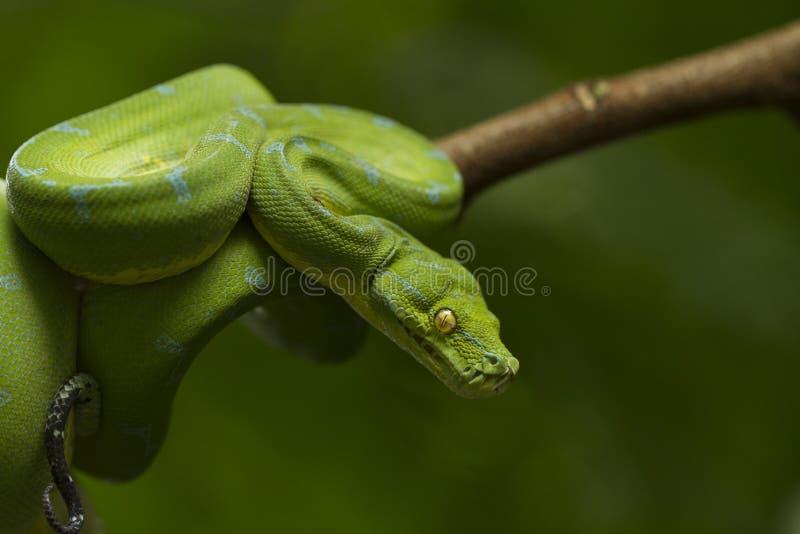 Python vert d'arbre, localité de sorong de viridis de Morelia photographie stock libre de droits