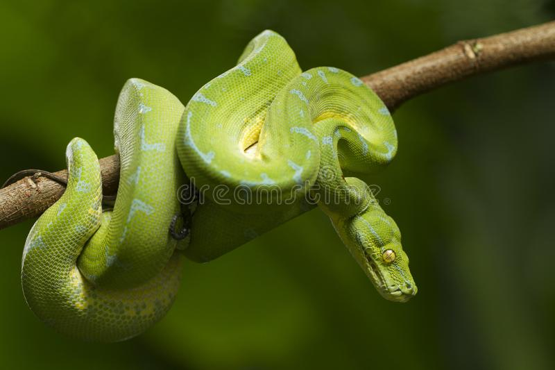 Python vert d'arbre, localité de sorong de viridis de Morelia images stock