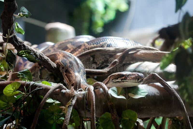 Pythonschlange Stockbilder