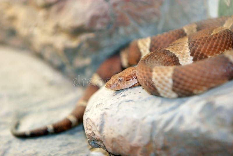 Pythonschlangeschlange lizenzfreies stockfoto