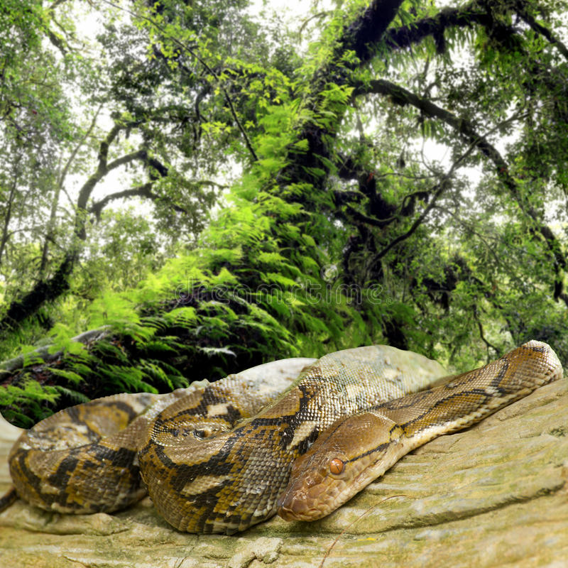 Pytonormer lägger krullat upp i ett träd royaltyfri fotografi