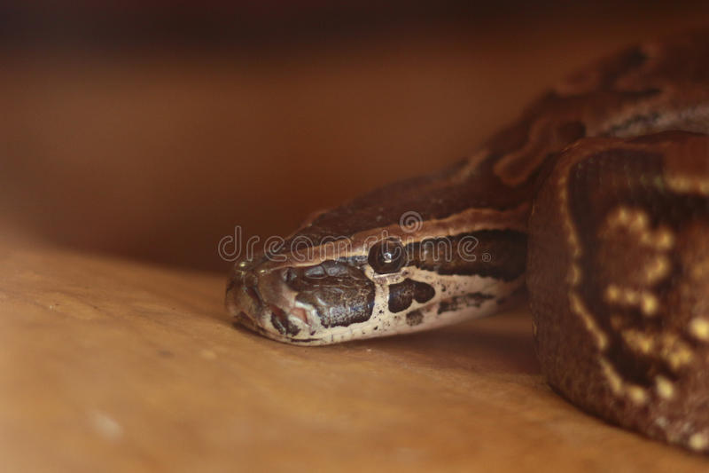 Pytonu boa węża zbliżenie obrazy stock