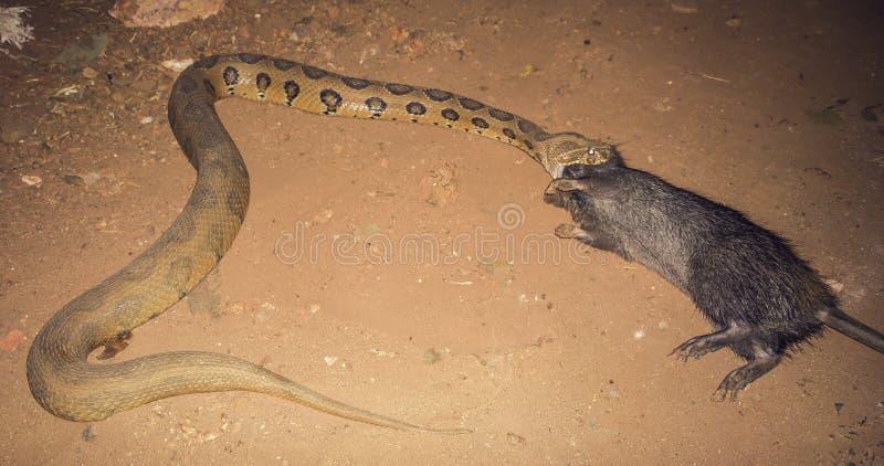 Pytonu wąż łyka brązu szczura, India, Goa zdjęcie royalty free