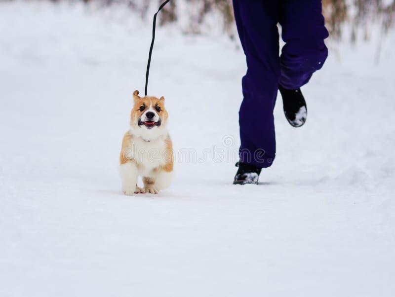 pyzatego szczeniaka Corgi zabawy czerwony bieg na smyczu obok właściciela w śniegu w zima parku dla spaceru obrazy royalty free