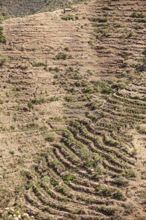 Qat farming in Ethiopia royalty free stock images