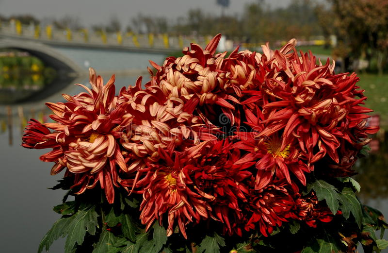 Download Qingbaijiang, China: Chrysantheme-Blumen Stockfoto - Bild von festival, mamas: 27733056