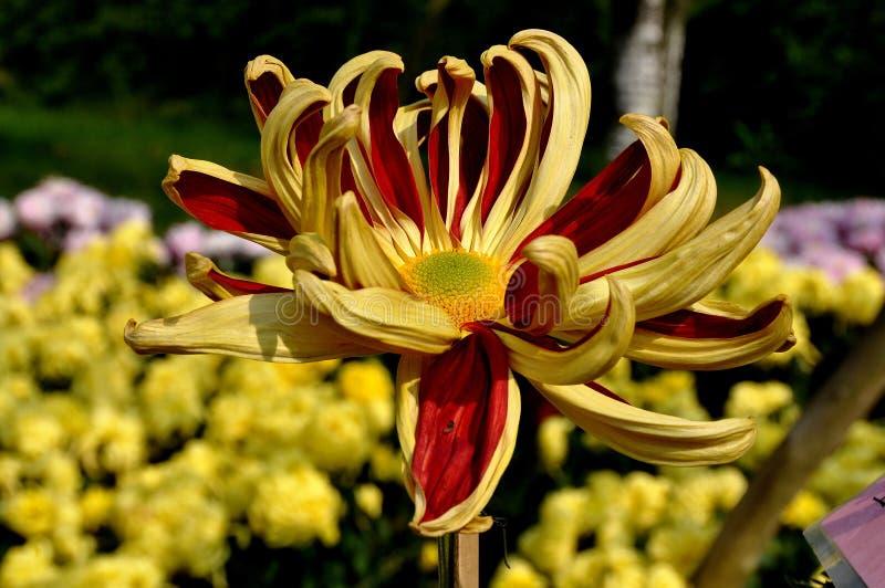 Download Qingbaijiang, China: Zwei-getonte Chrysantheme Stockfoto - Bild von rost, blumenblätter: 27733162