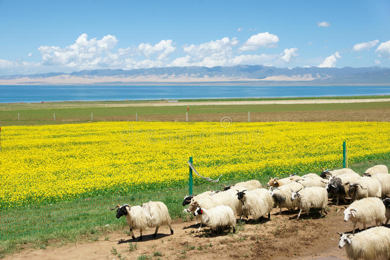 Qinghai Lake scenery. The landscape of Qinghai Lake in China royalty free stock photo