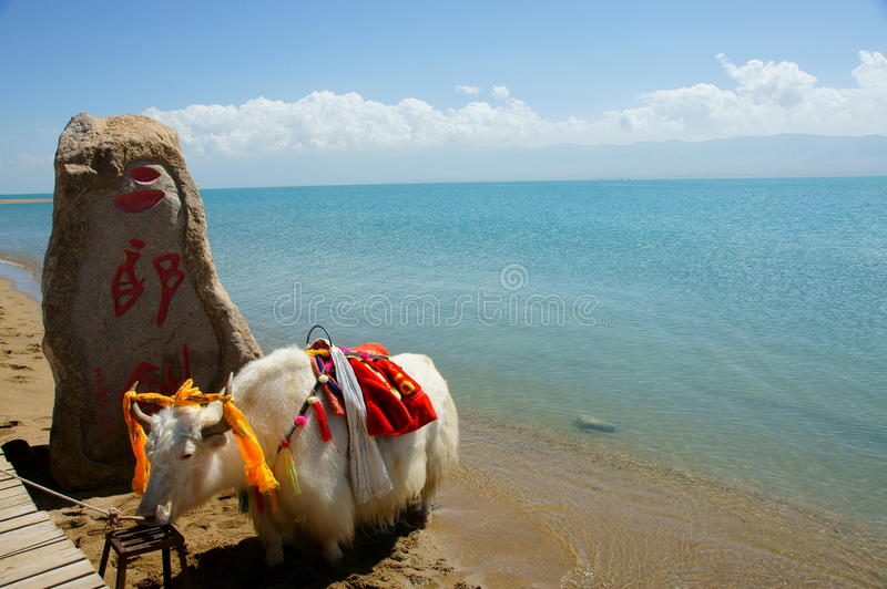 Qinghai Lake and yak. Qinghai Lake, formerly known as Koko Nur or Kukunor, is a saline and alkaline lake situated on the Tibetan Plateau in the province of stock photo