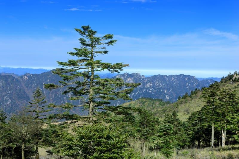 Qinling fir. Grown in China Shennongjia Nature Reserve stock image
