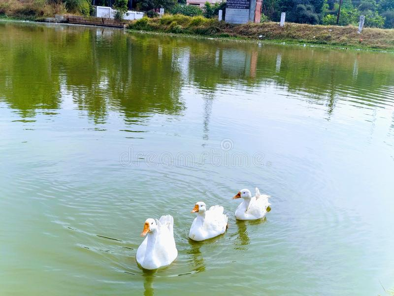 quack fotografia stock