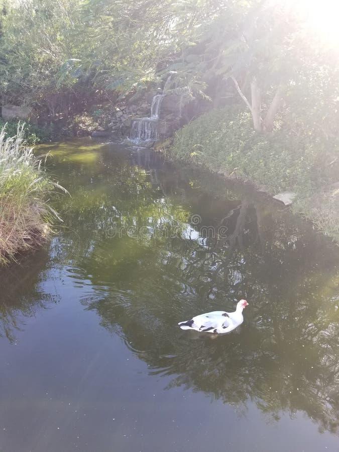 Quack en el estanque fotografía de archivo libre de regalías