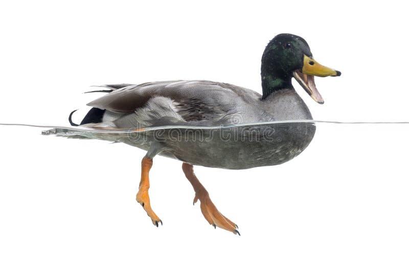 Quacking de Mallard, flottant sur l'eau image libre de droits