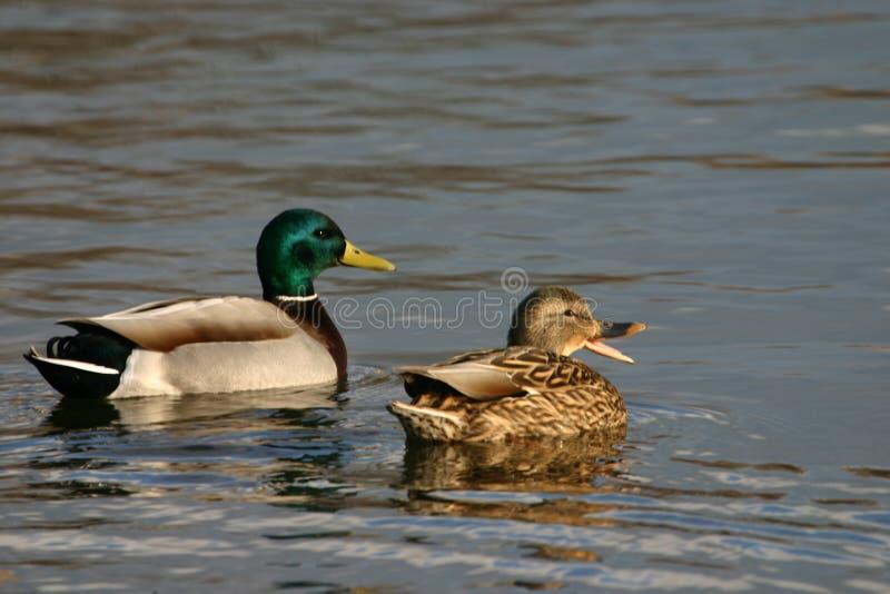 Quacking Stockentenpaare lizenzfreies stockfoto