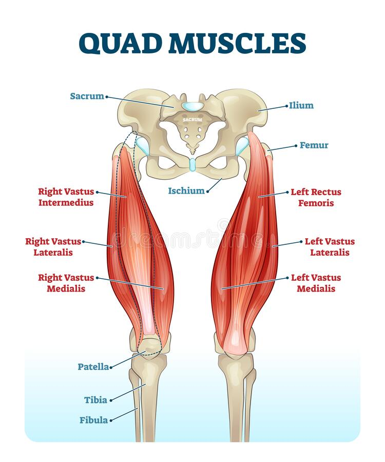 Quad leg muscles anatomy labeled diagram, vector illustration fitness poster. Sports physiotherapy educational information. Healthy muscular structure and vector illustration