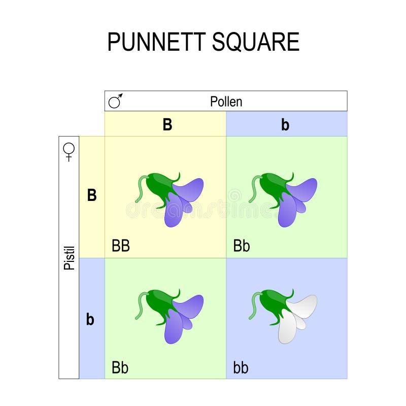 Quadrado de Punnett genetics ilustração do vetor