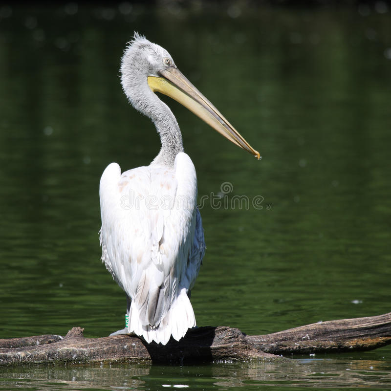 Quadrado do pelicano fotografia de stock royalty free