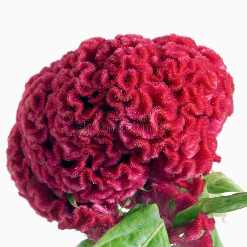 Quadrado vermelho da flor do cérebro fotos de stock royalty free