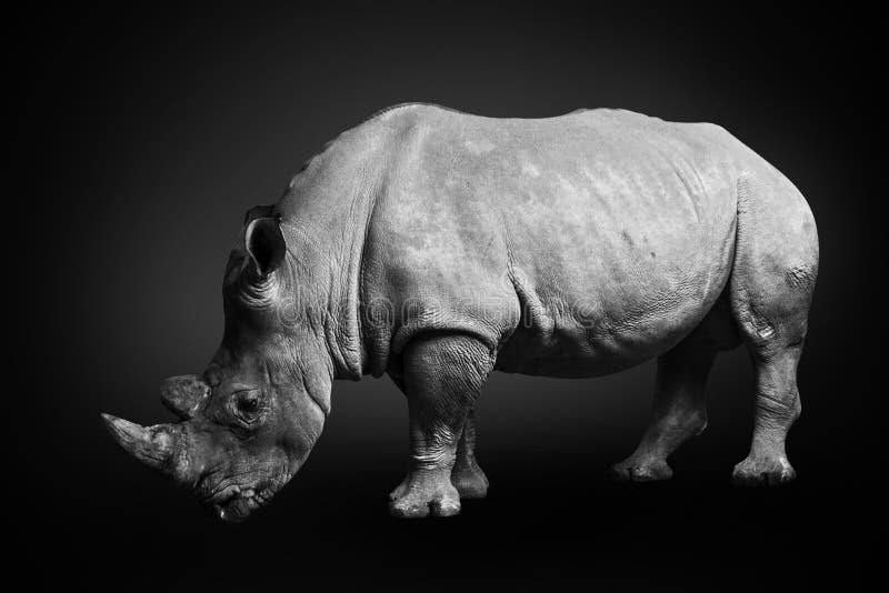 Quadrat-lippiges Nashorn des weißen Nashorns, das Südafrika auf dem einfarbigen schwarzen Hintergrund, Schwarzweiss bewohnt lizenzfreie stockfotos