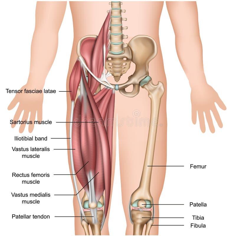 Quadricipite medico dell'illustrazione di anatomia 3d del muscolo della gamba royalty illustrazione gratis
