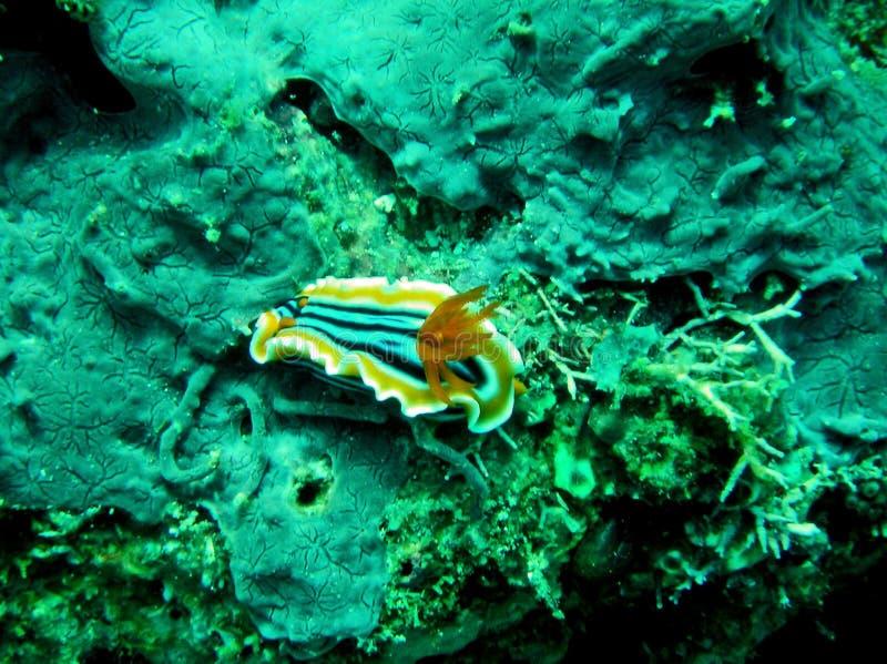 Quadricolor de Chromodoris da lesma de mar do Pyjama imagens de stock