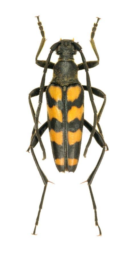 Quadrifasciata de Leptura del escarabajo del Capricornio fotografía de archivo