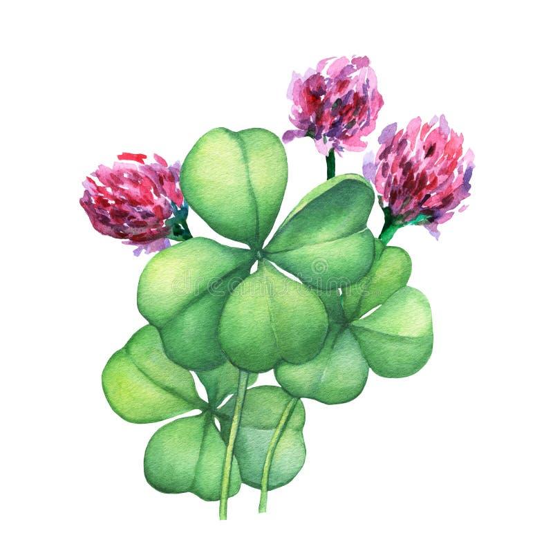 Fiori Quadrifoglio.Quadrifoglio Verde Con I Fiori Rosa Illustrazione Di Stock