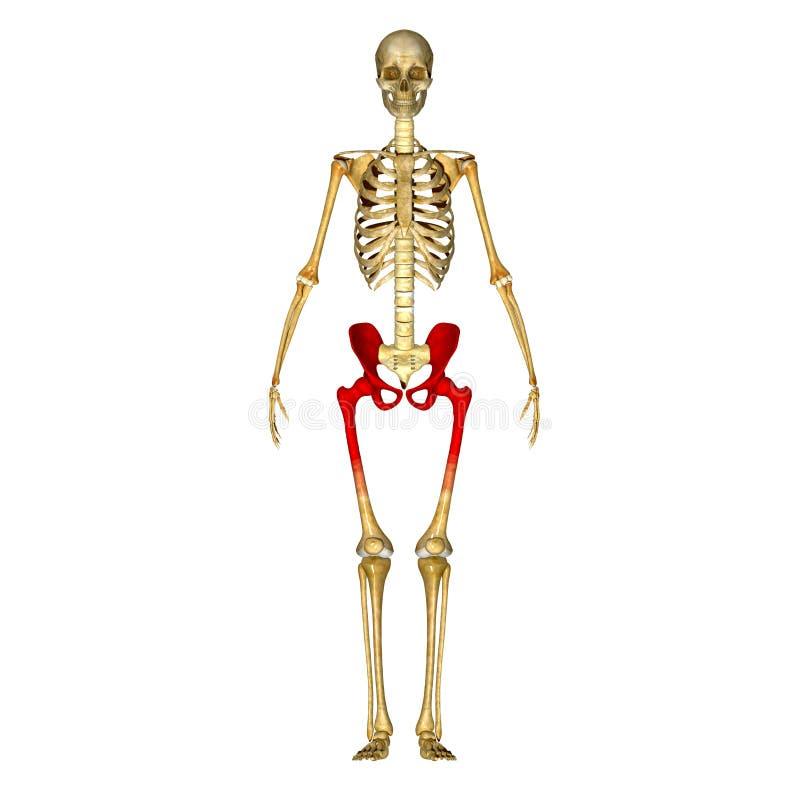 Quadril de esqueleto ilustração royalty free
