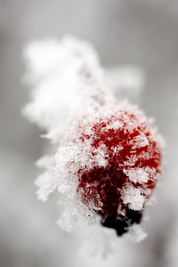 Quadril do inverno fotos de stock royalty free