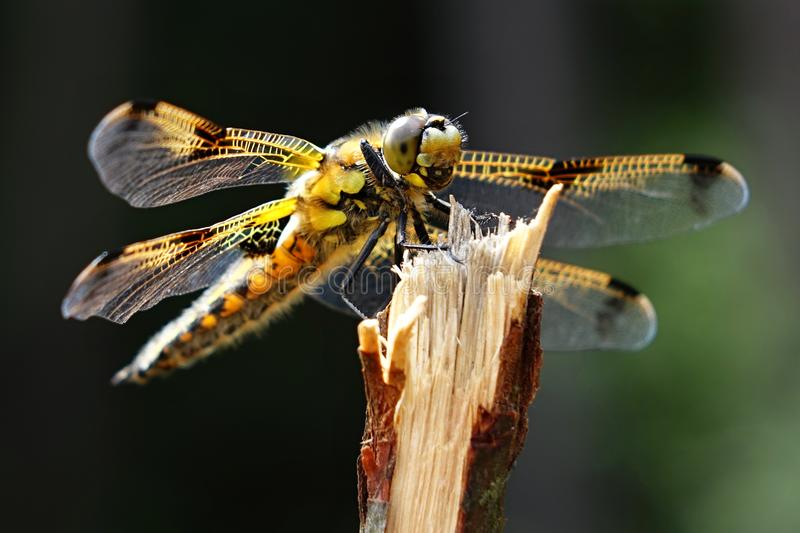 Download Quadrimaculata De Libellula Photo stock - Image du brun, fragilité: 76078480