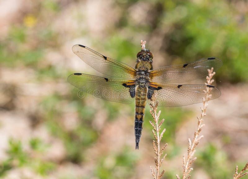 Quadrimaculata repéré de Libellula de libellule de chasseur de l'Européen quatre images stock