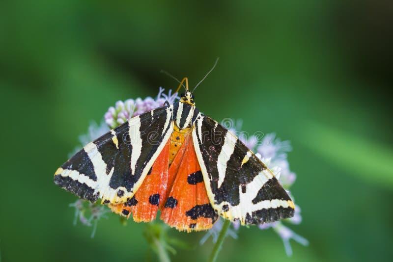 Quadripunctari de Euplagia de la polilla de tigre del jersey fotos de archivo libres de regalías