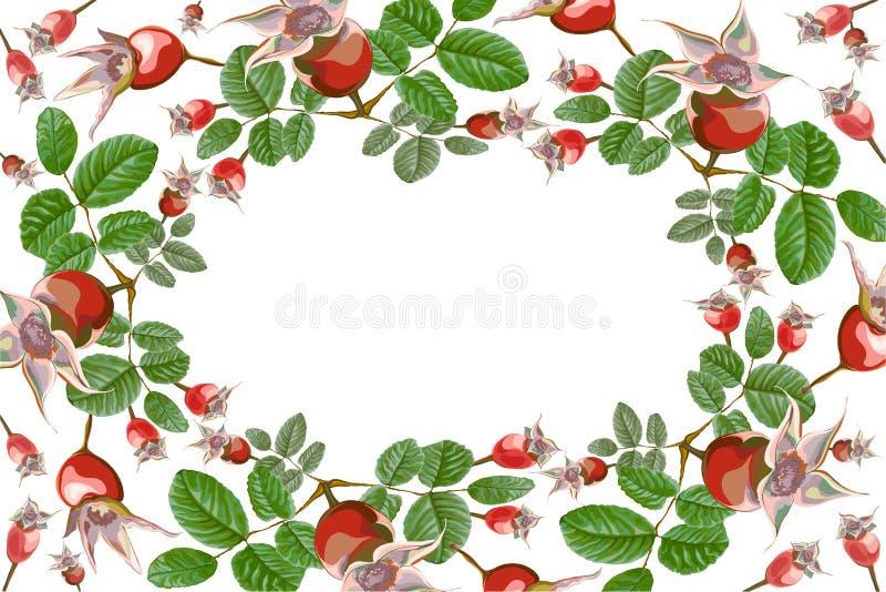 Quadris cor-de-rosa selvagens do quadro da elipse de Dogrose ilustração do vetor
