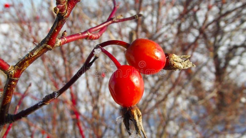 Quadris de Rosa no inverno fotos de stock
