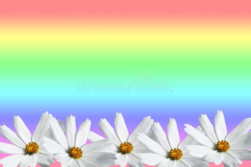 Quadro branco da flor do cosmos foto de stock
