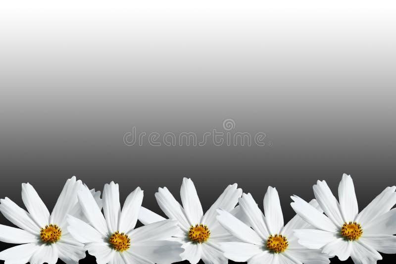 Quadro branco da flor do cosmos fotos de stock
