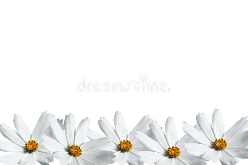 Quadro branco da flor do cosmos imagens de stock royalty free