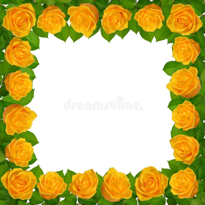 Quadro com rosas amarelas Isolado no fundo branco imagens de stock royalty free