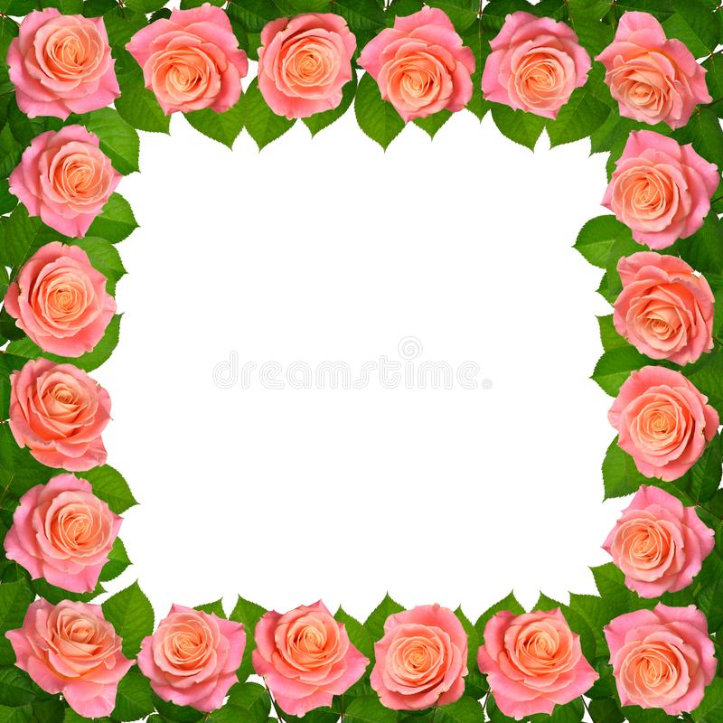 Quadro com rosas cor-de-rosa Isolado no fundo branco imagens de stock