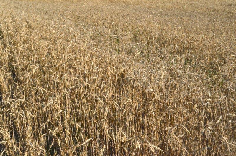 Quadro completo da colheita da colheita do trigo horizontal; cereal; campo de trigo imagens de stock