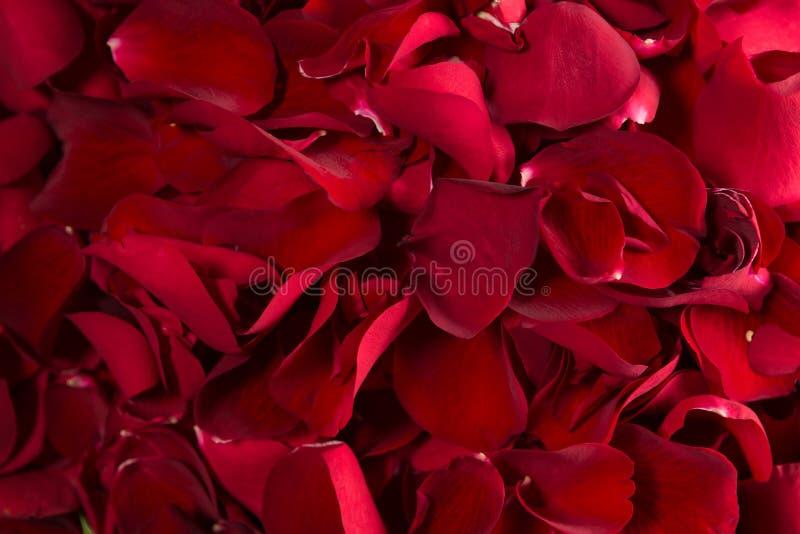Quadro completo das pétalas cor-de-rosa vermelhas imagens de stock