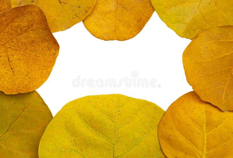 Quadro de arranjar as folhas amarelas da planta de Seagrape ou conhecidas como a uva do beira-mar, isoladas e cortadas com trajet fotos de stock