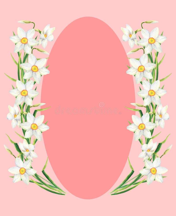 Quadro do retângulo da flor do narciso da aquarela com espaço cor-de-rosa da elipse para o texto Grinalda tirada mão do narciso a ilustração royalty free