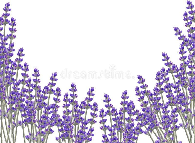 Quadro floral da aquarela com flores da alfazema ilustração royalty free