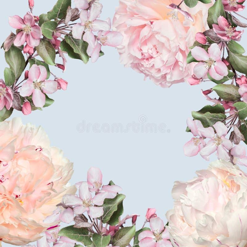Quadro floral da mola das peônias cremosas e das flores cor-de-rosa da maçã fotografia de stock