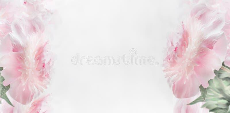 Quadro floral das peônias do rosa pastel no fundo claro, bandeira Disposição ou cartão para o dia de mães foto de stock