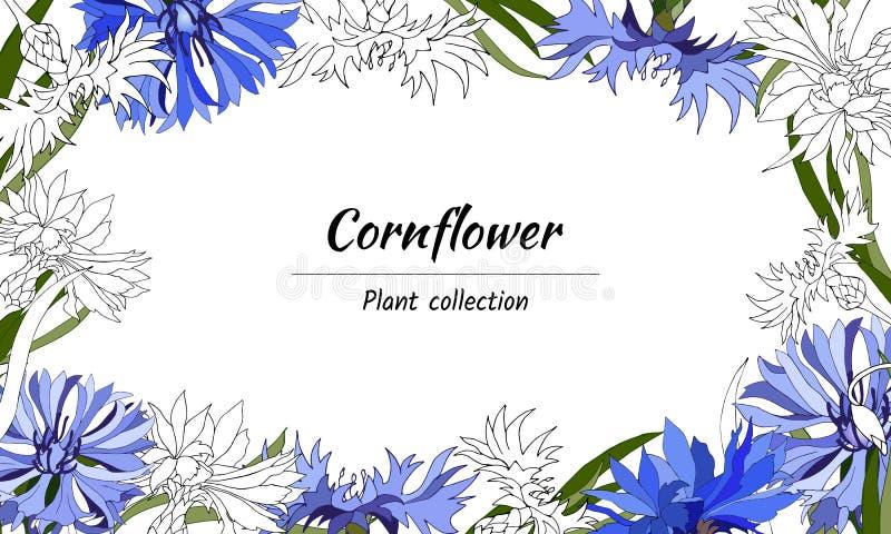 Quadro floral para o texto das centáureas brancas e azuis Flores azuis brilhantes em um fundo branco para a decoração, papel, car ilustração stock