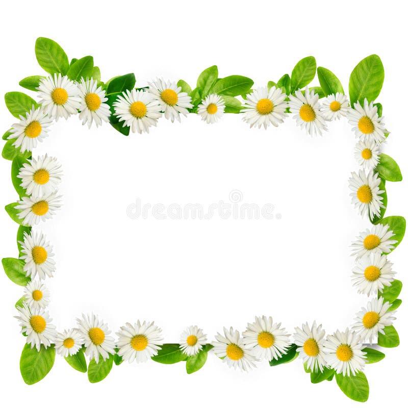 Quadro: margaridas e folhas do verde fotografia de stock royalty free