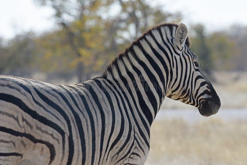 Quagga do Equus da zebra comum no parque nacional Namíbia de Etosha imagem de stock royalty free